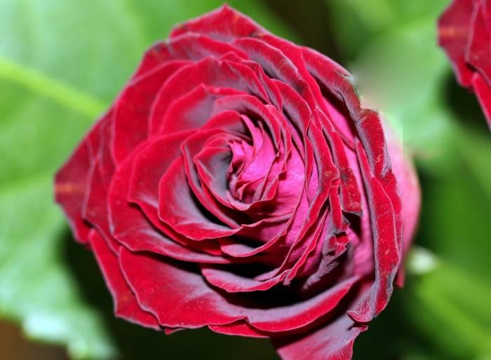 Роза, бутон, макро, цветок, красная, rose