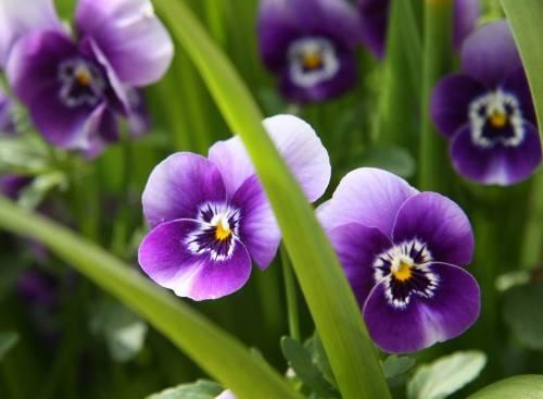 Анютины глазки, цветы, фиолетовые, трава, макро