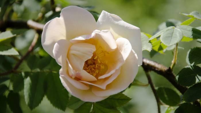 Роза, бежевая, макро, листья, цветок, rose, beige