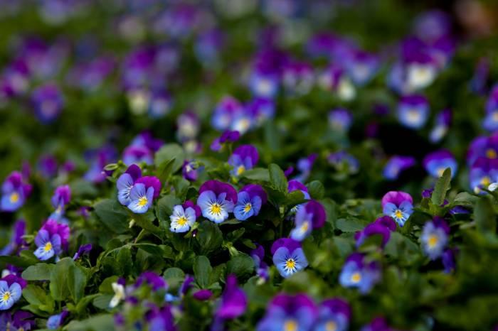 Цветы, фиолетовая, Анютины глазки, виола, макро