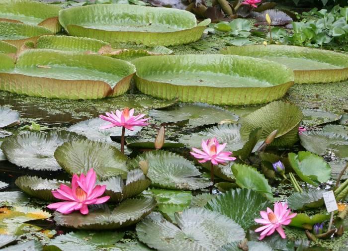Водоём, растения, лилии, природа, цветы, lily