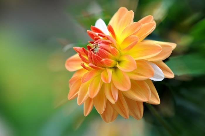 георгина, цветок, макро, macro, Dahlia, желтая