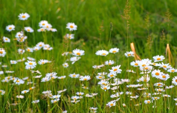 Ромашки, поле, цветы, трава, природа, daisies