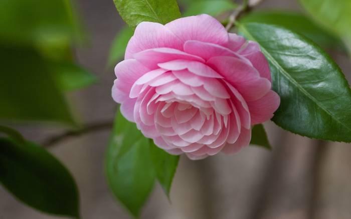 Камелия, макро, бутон, цветок, flower, Camellia