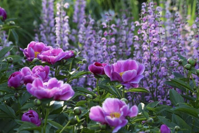Пионы, сад, цветы, зелень, peonies, garden, flower