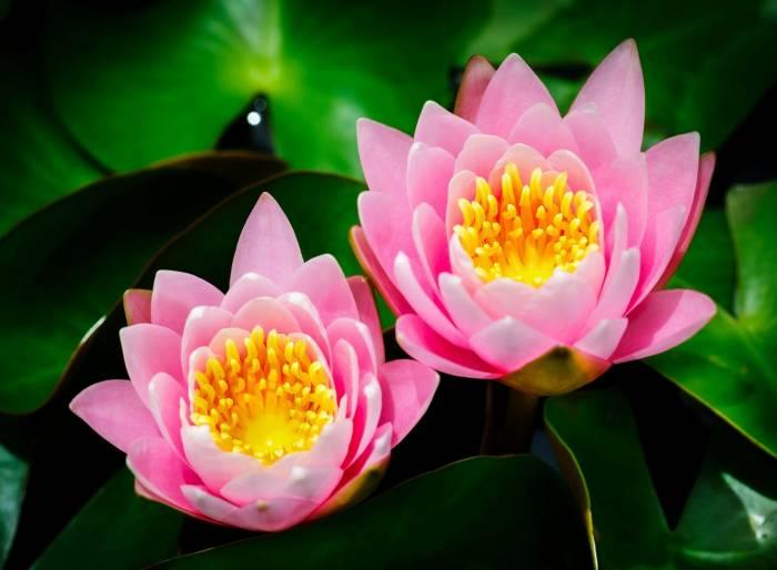 Нимфея, nymphaea, кувшинка, водяная лилия, природа