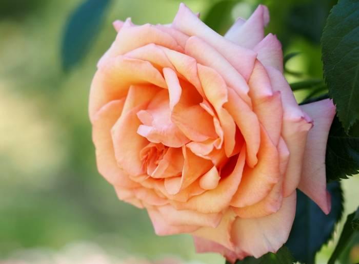 Роза, макро, лепестки, цветок, розовый, rose, pink