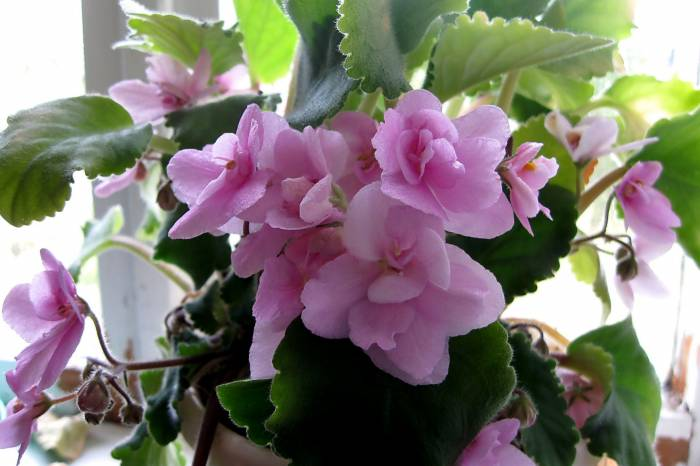 Фиалка, обычная, цветы, розовая, viola, flowers