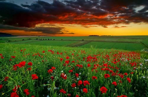 Поле, цветы, маки, ромашки, закат, облака