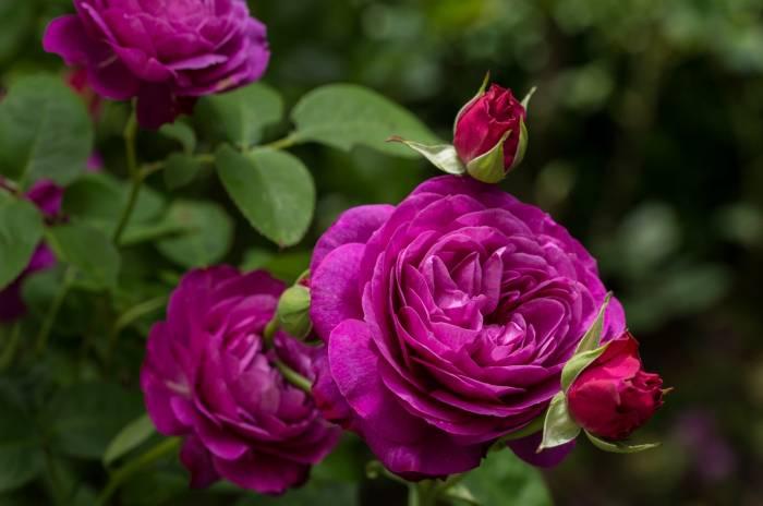 Роза, Хайди Клум, Heidi Klum, rose, бутоны, розы