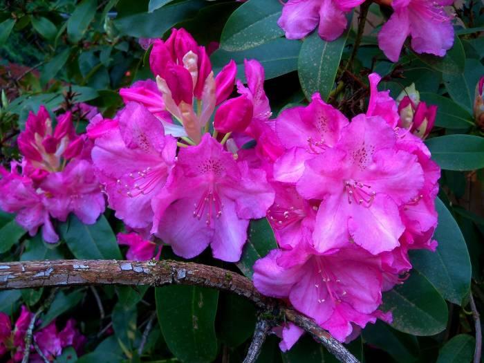 Рододендроны, ветка, соцветия, rhododendron