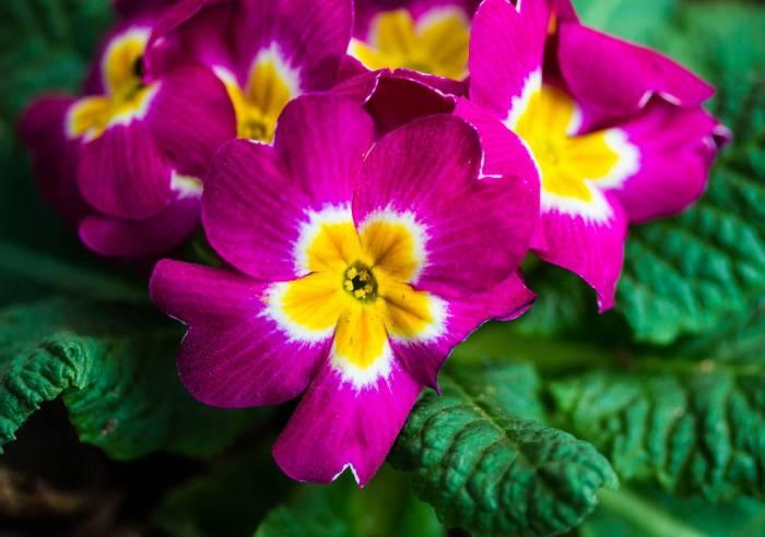 Первоцвет, Примула, Primula, макро, цветок