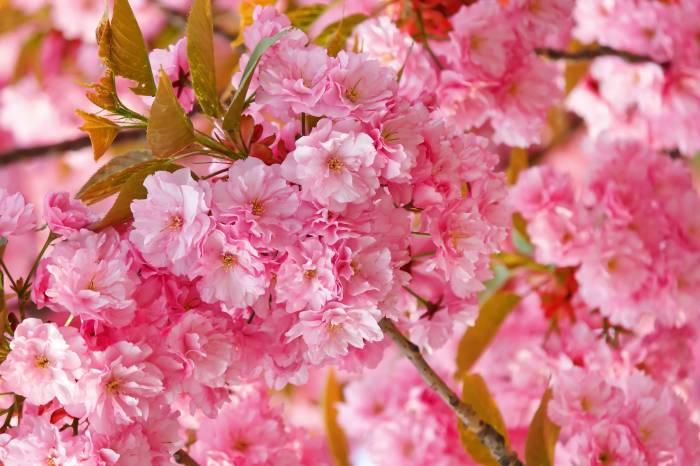 Цветы, сакура, весна, розовые, sakura, природа