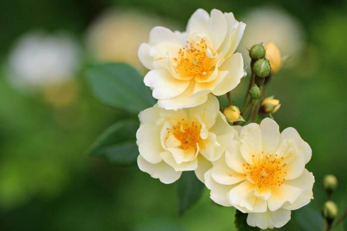 Розы, макро, бутоны, цветы, бежевые, листья, rose
