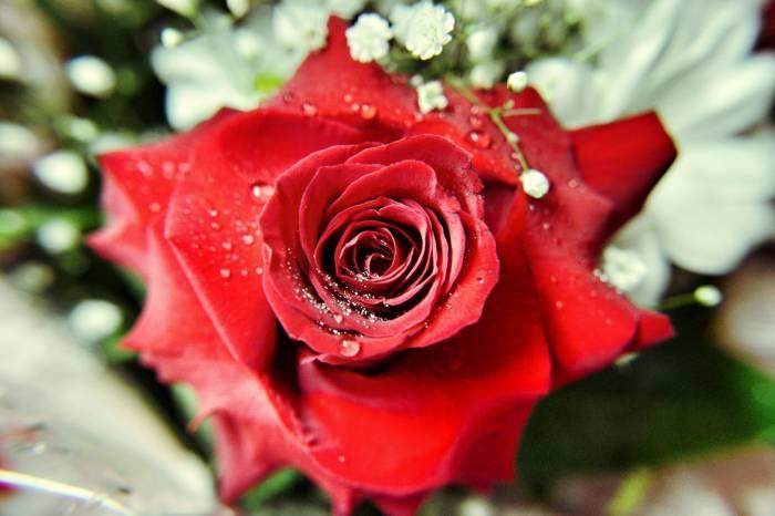 Роза, макро, лепестки, цветок, flower, rose