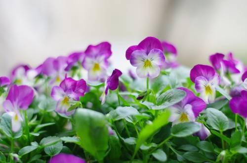Цветы Анютины глазки, Фиалка трёхцветная