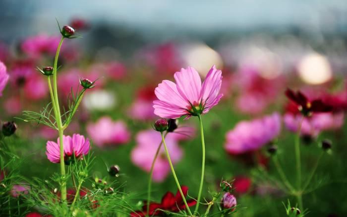 Цветы, Космея, Космос, Cosmos, flowers, трава
