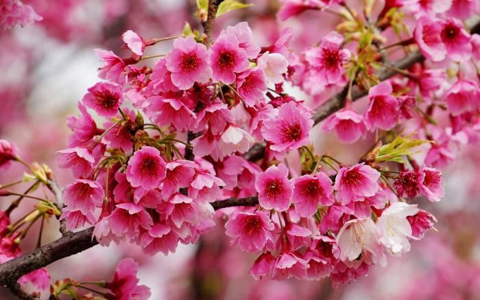 Вишня, ветка, цветение, макро, весна, cherry