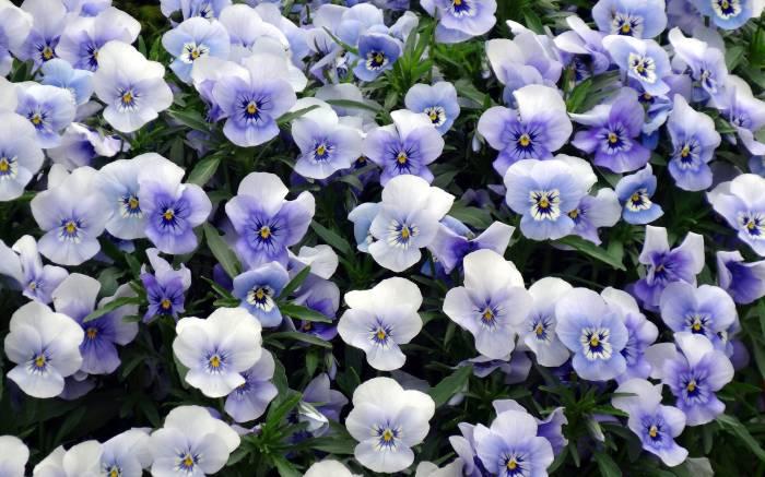 Фиалка, цветок, фиолетовая, Анютины глазки, виола