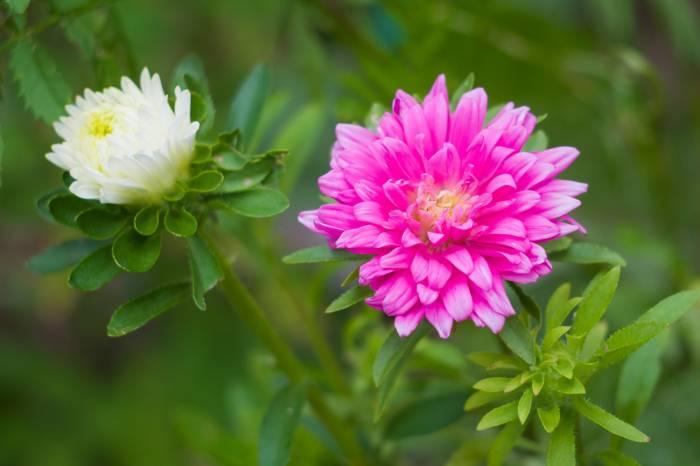 Астры, макро, цветы, flowers, розовые, Aster, pink