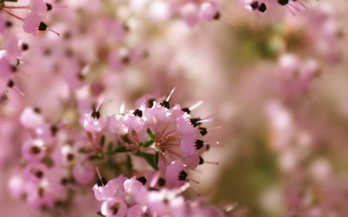 Вереск, Calluna vulgaris, flowers, цветы, розовый