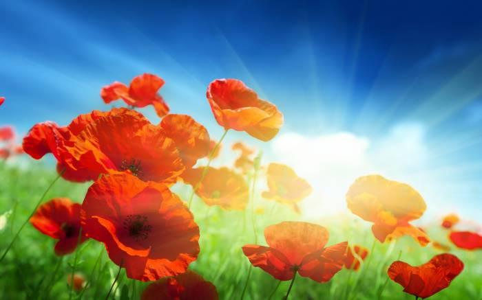 Маки, поле, трава, цветы, небо, красные, Poppies