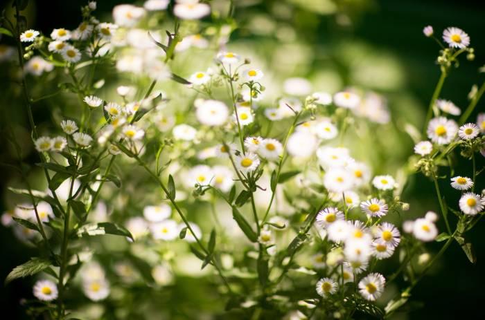 полевые цветы, ромашки, маленькие ромашки, полевые
