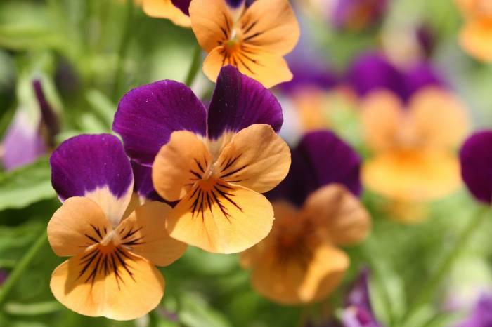 Анютины глазки, фиалка трёхцветная, цветы, flowers