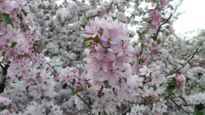 Цветы, весна, лето, яблоня, flowers, spring