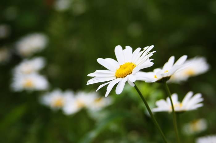 Ромашка, лето, summer, трава, camomile, цветы