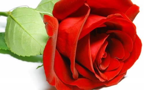 Цветок, red rose, flower, красная роза